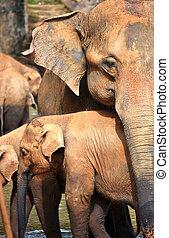 mládě, skupina, slon, slon, sri, řeka, lanka, pinnawala