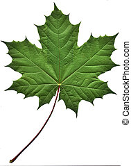 mladický list, javor
