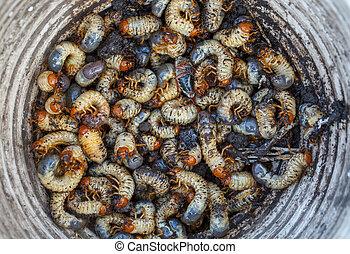 Možná larvy sbírají v kýblu