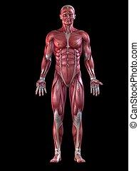 Mužský svalový systém