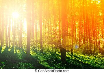 mystický, barvitý, slunit se, ráno, les, paprsek