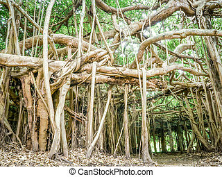 okres, banyán, ngam, thajsko, ratchasima, nakhon, sai, strom, phimai