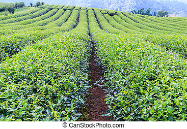 osada, čaj, mladický krajina