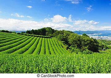 osada, čaj