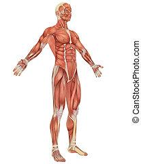 otočil, svalnatý, anatomie, čelo, mužský, názor