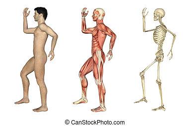 overlays, náklonnost, kýta, -, anatomický, mužský, paže