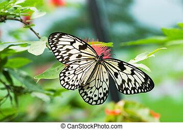 překrásný, motýl