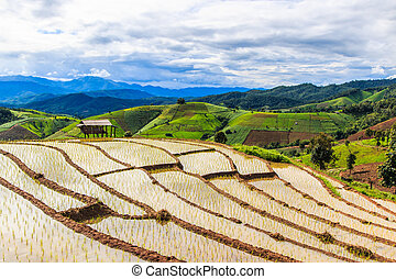Paddy - rýžová pole v pong peang chiang mai tuiííííííííííííí