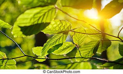 paprsek, slunit se, list, strom, ráno, nezkušený, buk
