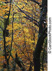 podzim zapomenout, javor, kopyto