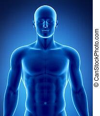 postavení, samčí znak, anatomický