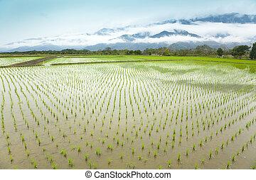 pramen, asie, bojiště, nezkušený, čas, rýže