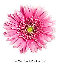 Růžová gerberanská květina izolovaná na bílém pozadí