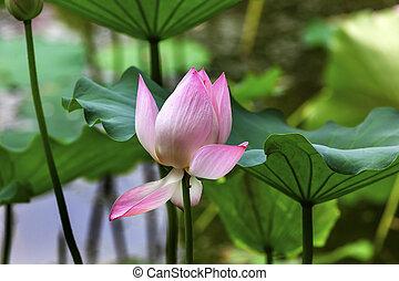 Růžová lotosová zavřená brada