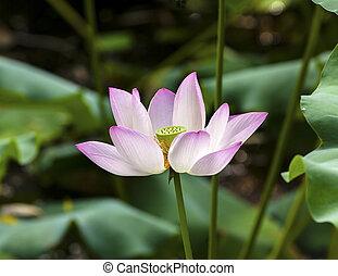 Růžový lotosový květ se blíží ke břehu