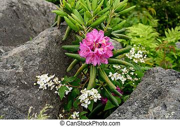 Rhododendron kvete mezi balvany
