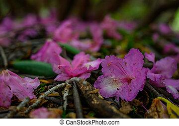 Rhododendron kvete na zem