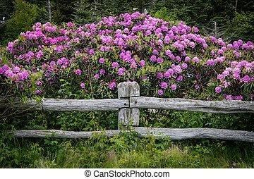 Rhododendron kvete přes plot