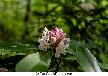 Rhododendron kvete ve světle