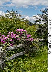 Rhododendron kvetl na starý dřevěný plot