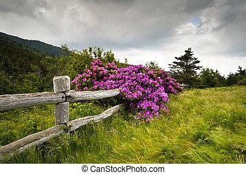 Roanská horská zahrada, mezery, rhododendron, kvetou se z ní dřevěný plot