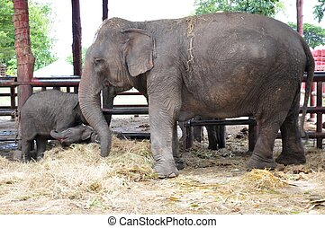 rodina, asie, slon