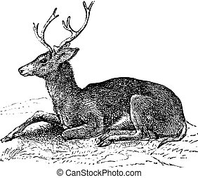 rytina, hemionus, vinobraní, jelen, mezek, odocoileus, nebo