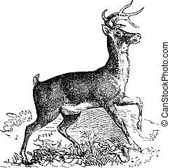 rytina, vinobraní, jelen, virginie, whitetail, nebo