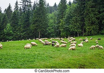 sheep, hora, kopec, houf