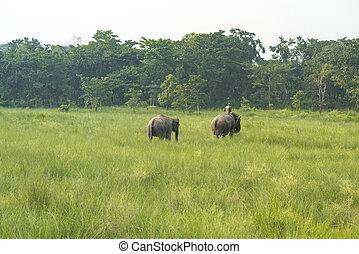 slon, dva, nebo, mahout, slon, jezdec