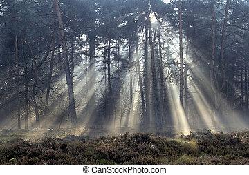 sluneční paprsky, les, mlhavý