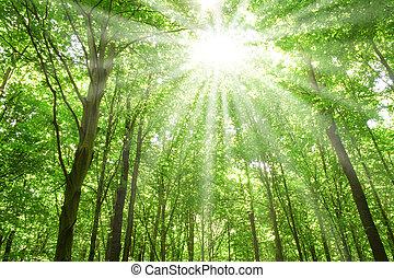 Sluneční světlo ve stromech lesa