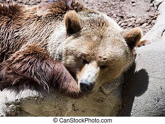 Spící hnědý medvěd