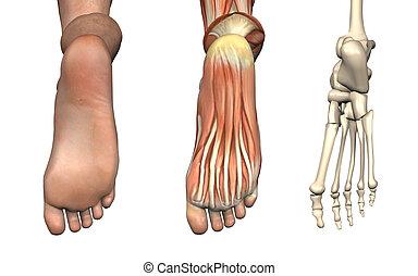 stopa, anatomický, overlays, -