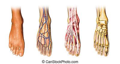 stopa, anatomie, representation., lidský, cutaway