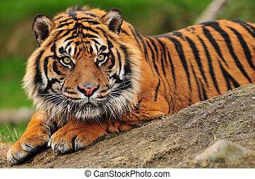 Sumatranský tygr
