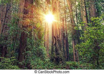 Sunny Redwoodský les