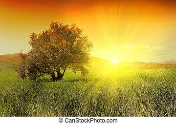 Sunrise a olivový strom