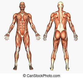 svaly, mužský