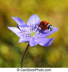 Svobodná dáma na fialovém květu na jaře