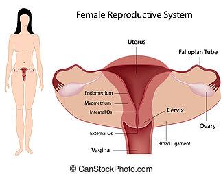systém, rozmnožovací, eps8, samičí
