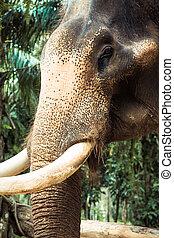 thajsko, slon