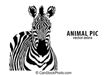 vektor, zebra