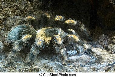 Velký chlupatý pavouk