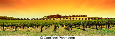 Vineyardová panorama západ slunce