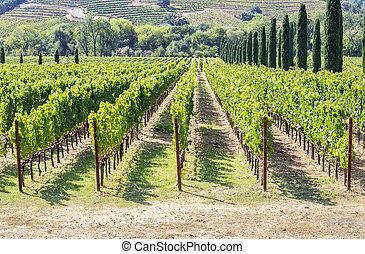vinice, údolí, kopcovitý, napa, plocha