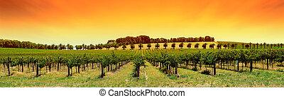 vinice, panoráma, západ slunce
