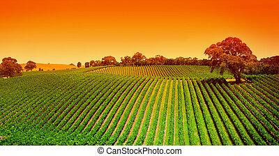 vinice, vyvýšenina, východ slunce