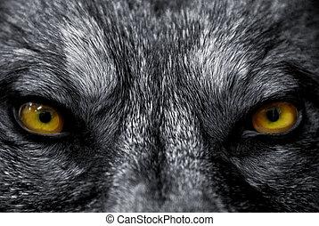 Vlčí oči