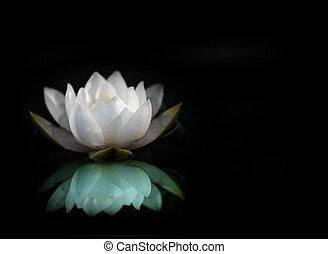 Voda lilie se odráží ve vodě